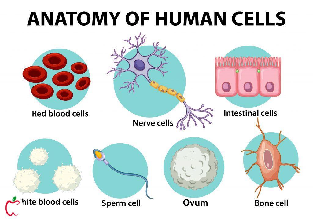 اناتومی سلول های بدن انسان سیو طب