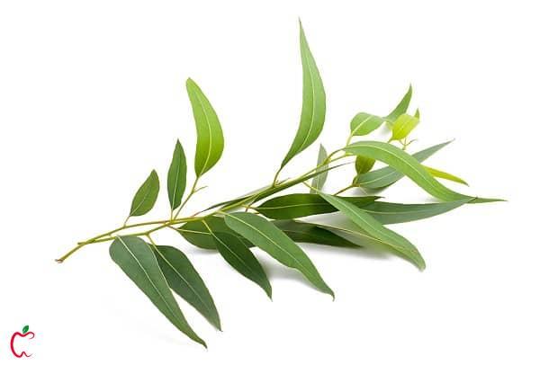 روغن درخت چای برای درمان سریع جوش چرکی